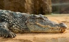 Free Black Crocodlie Lying On Ground Stock Photography - 94536522