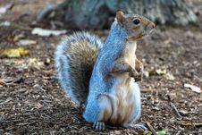 Free Squirrel, Mammal, Fauna, Fox Squirrel Royalty Free Stock Image - 94593306