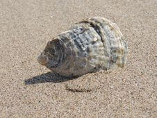 Free Sea Snail, Seashell, Terrestrial Animal, Snail Stock Images - 94593314