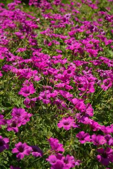 Free Plant, Flower, Flora, Purple Royalty Free Stock Images - 94594949