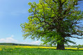 Free Old Oak Stock Photography - 9463602