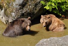 Free Two Bears In Watering Place Taking Bath Stock Photos - 9461973