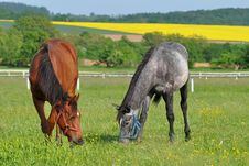 Free Gray And Chestnut Horses Stock Photos - 9461993