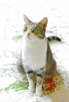Free Green Eyed Tabby Stock Image - 9462841