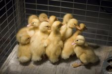 Free Ducklings In Cage Royalty Free Stock Photos - 9464468