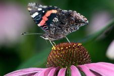Free Red Admiral Stock Photography - 9464702