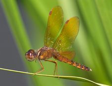 Free Eastern Amberwing Stock Photography - 9464752