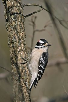 Free Downy Woodpecker Stock Images - 9464994