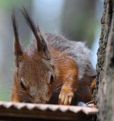 Free Squirrel Stock Image - 9465091