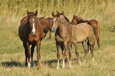 Free Herd Arabian Horses Whith Foals Stock Images - 9465584