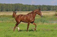 Free Brown Horse Trots On The Meadow Royalty Free Stock Photo - 9465795