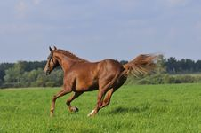 Free Brown Horse Runs Gallop On The Meadow Royalty Free Stock Images - 9465819