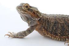 Free Bearded Dragon Stock Photo - 9466990