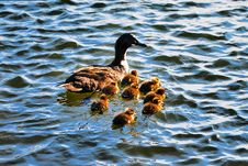 Free A Duck And Her Chicks Stock Photos - 9467453