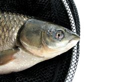 Grass Carp Royalty Free Stock Images