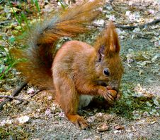 Free Red Squirrel Royalty Free Stock Photo - 9468365