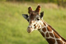 Free Giraffe Stock Image - 9468641