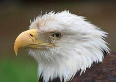 Free Bald Eagle Stock Image - 9468701