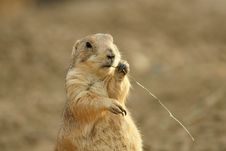 Free Prairie Dog Royalty Free Stock Photo - 9468885