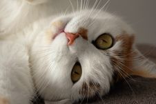 Free Cat`s Face Close Up Royalty Free Stock Photo - 94642425
