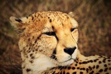 Free Close Up Of Cheetah Stock Photos - 94642493