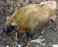 Free Bison 5 Stock Image - 9475661