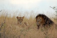 Free Lion And Lioness Stock Image - 9470251