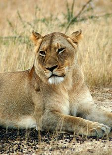 Free Lioness Royalty Free Stock Images - 9470269