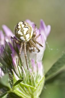 Free Spider Of Embrace Royalty Free Stock Images - 9470919