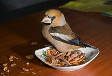 Free Bird Hawfinch 3 Royalty Free Stock Photography - 9471017