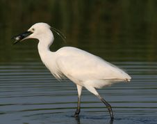Free Egret In Water Stock Image - 9471111
