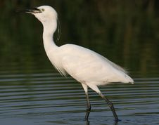 Free Egret In Water Royalty Free Stock Images - 9471119