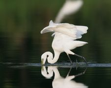 Free Egret In Water Royalty Free Stock Images - 9471289