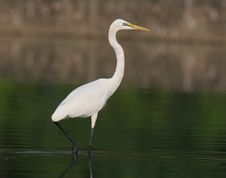 Free Egret In Water Royalty Free Stock Photography - 9471297