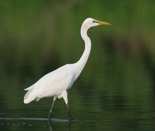 Free Egret In Water Royalty Free Stock Photography - 9471307
