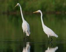 Free Egret In Water Stock Photography - 9471312