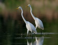 Free Two Egret In Water Royalty Free Stock Photo - 9471335
