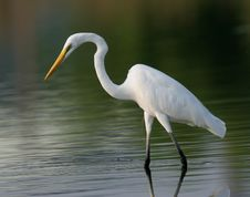 Free Egret In Water Royalty Free Stock Photo - 9471345