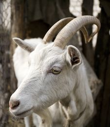 Free A Goat Of Horn Is A Beard Stock Photo - 9472340
