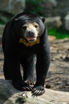 Sun Bear (Helarctos Malayanus) Royalty Free Stock Photos