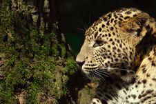 Free Sri Lanka Leopard Stock Image - 9472691