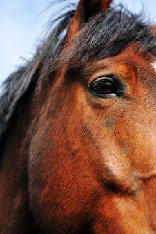 Free Beautiful Brown Horse Stock Image - 9472891