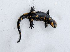 Free Salamander On The Snow Royalty Free Stock Photo - 9473035