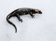 Free Salamander On The Snow Stock Image - 9473041