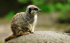 Free Cute Meerkat Stock Images - 9473064
