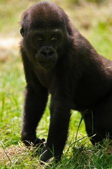 Free Cute Baby Gorilla Royalty Free Stock Photo - 9473235