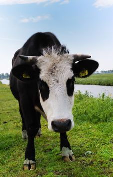 Free Cow On Farmland Stock Photography - 9473492