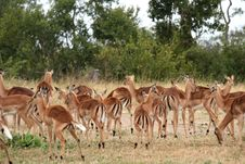 Free Impala Herd In Sabi Sand Royalty Free Stock Photos - 9475778