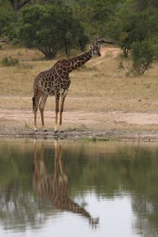 Giraffe In Sabi Sand Reserve, Africa Royalty Free Stock Photos