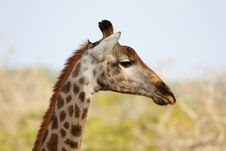 Giraffe In Sabi Sand Reserve, Africa Royalty Free Stock Images